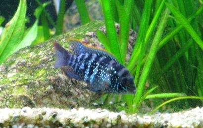 Blaupunkt-Buntbarsch – Aequidens pulcher