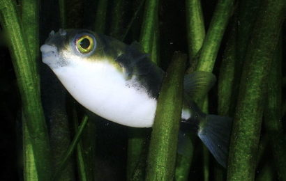 Assel-Kugelfisch – Colomesus asellus