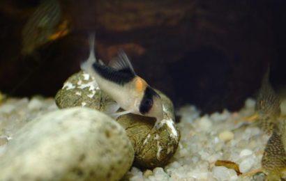 Kupferfleck-Panzerwels – Corydoras duplicareus