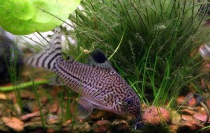 Juli-Panzerwels – Corydoras julii