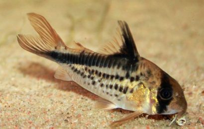 Schrägband-Panzerwels – Corydoras loxozonus