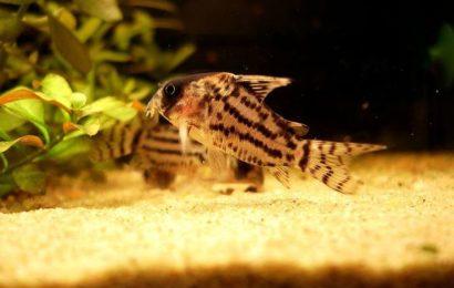 Schwartz-Panzerwels – Corydoras schwartzi