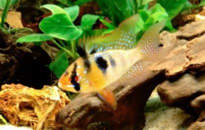Schmetterlingsbuntbarsch – Mikrogeophagus ramirezi