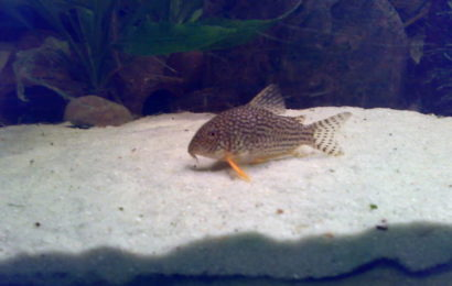 Orangeflossen-Panzerwels – Corydoras sterbai