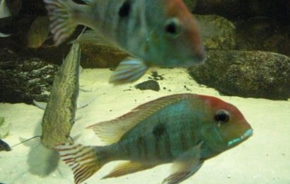 "Geophagus tapajos ""Red Head"""