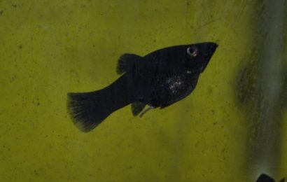 Black Molly – Poecilia sphenops