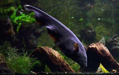 Weißstirn-Messerfisch – Apteronotus albifrons