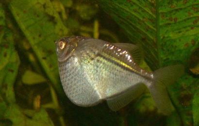 Silberbeilbauch – Gasteropelecus sternicla