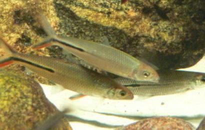 Federsalmler – Hemiodus gracilis