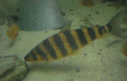 Gebänderter Leporinus – Leporinus fasciatus