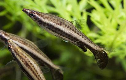 Spitzmaul-Ziersalmler – Nannostomus eques