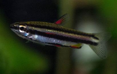 Zwergziersalmler – Nannostomus marginatus