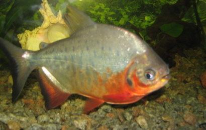 Roter Pacu – Piaractus brachypomus