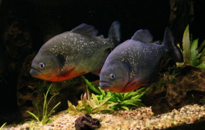 Roter Schulterfleck-Piranha – Pygocentrus cariba