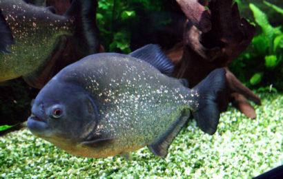 Roter Piranha – Pygocentrus nattereri