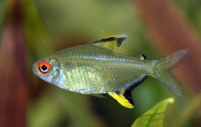 Zitronensalmler – Hyphessobrycon pulchripinnis