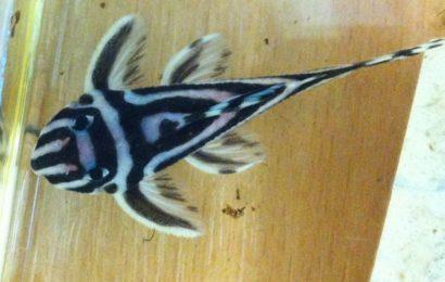 L-46 – Zebra-Harnischwels – Hypancistrus zebra