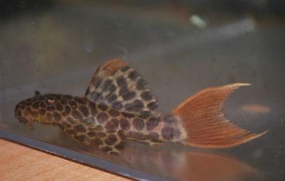 L-114 – Pseudacanthicus cf. leopardus