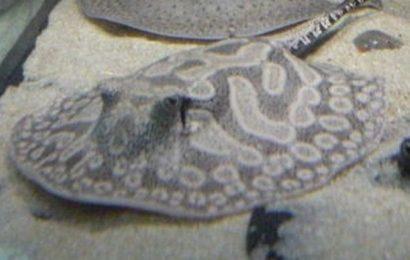 Potamotrygon wallacei (hystrix)