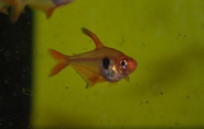 Roter Phantomsalmler – Hyphessobrycon sweglesi